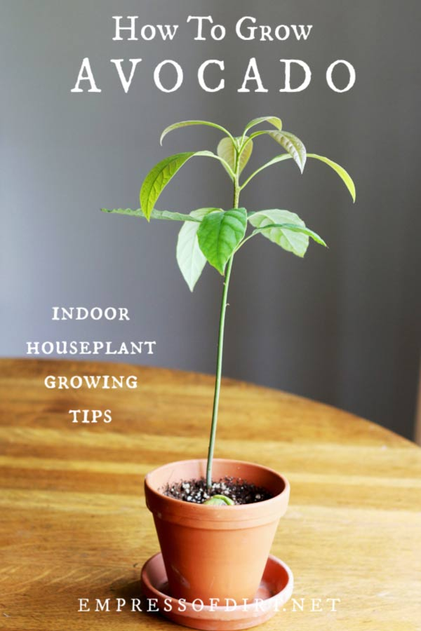 How To Grow An Avocado Tree Empress Of Dirt