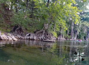 Cypress trees, Texas, Guadalupe River,