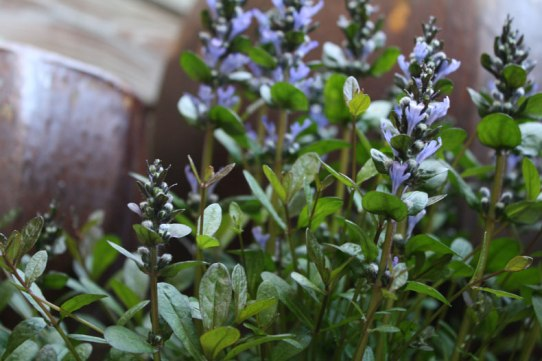 ajuga-and-pots