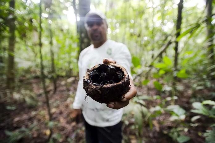 Juruena, MT, Brasil: Antônio Bento de Oliveira mostra fruto da castanheira colhido na reserva legal comunitária do assentamento Vale do Amanhecer. (Foto: Marcelo Camargo/Agência Brasil)