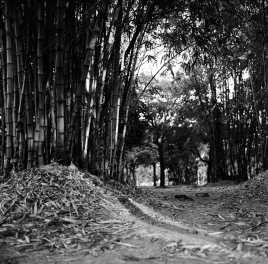 Bamboo Glade - ILFORD HP5 PLUS - EI 800