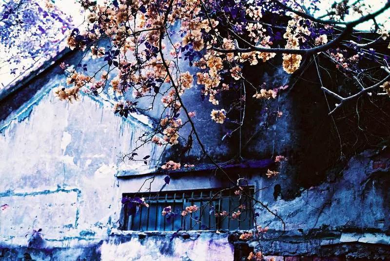 "Shots fired – ""Final Spring"" – LomoChrome Purple 400"