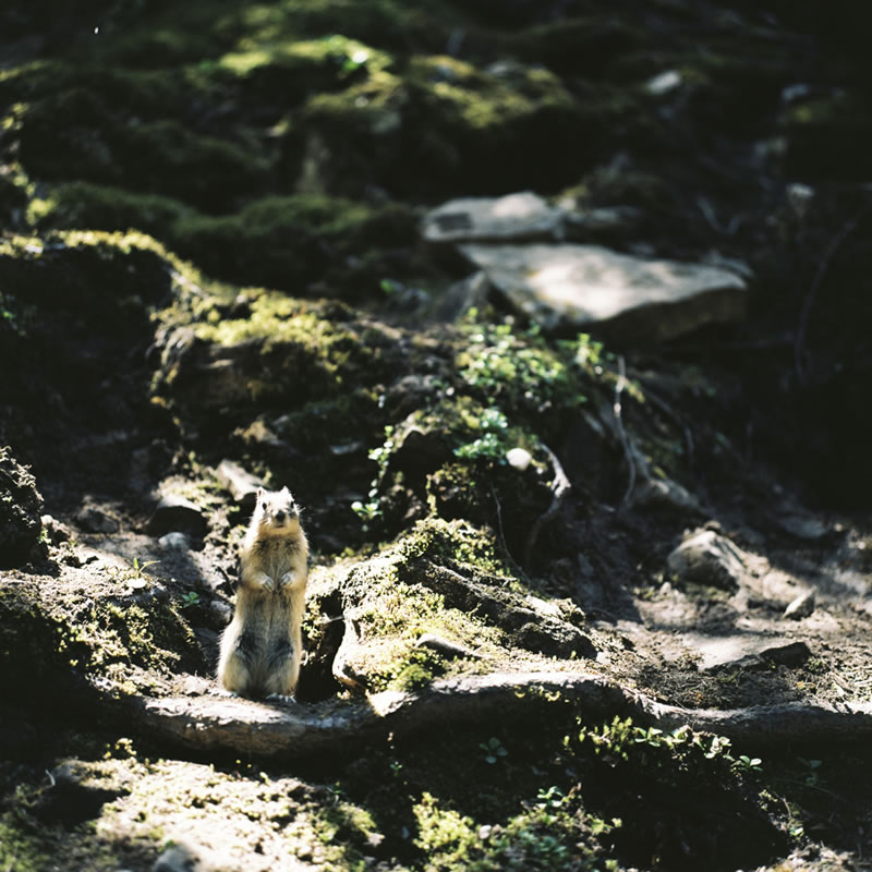 """Columbian Ground Squirrel"", Johnston Canyon, Banff National Park, Alberta - Rolleiflex 3.5F 