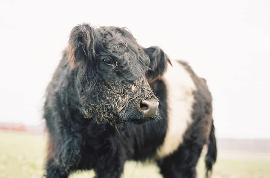 Belted Galloway - Somers, CT - Leica M3 + Kodak Portra 400
