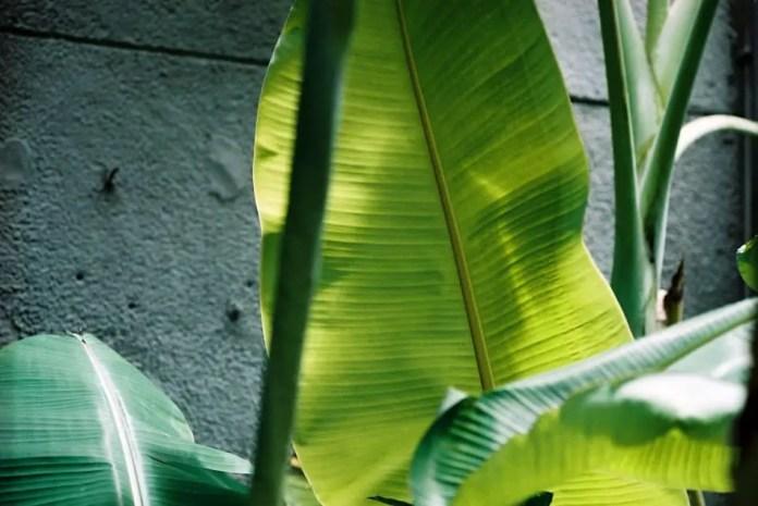 Lamina Leaf - AgfaPhoto Vista Plus 200 - Leica M6, Canon 50/1.5