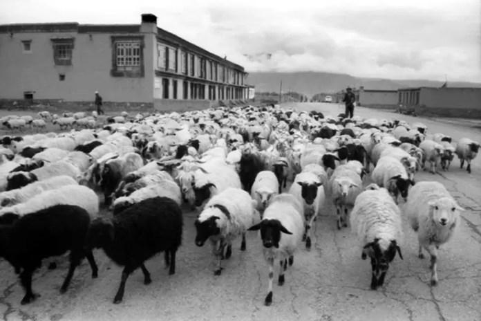 Amongst The Flock