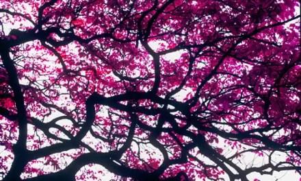 Fuchsia canopy – Kodak AEROCHROME III 1443 (120)