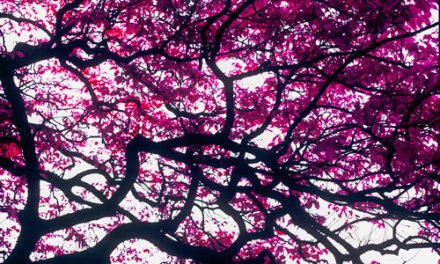 Fuchsia canopy – Shot on Kodak AEROCHROME III 1443 (120)