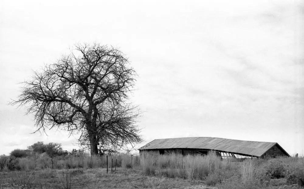 Barn and tree - Weld County, Colorado. Olympus 35SP, Kodak Tri-X