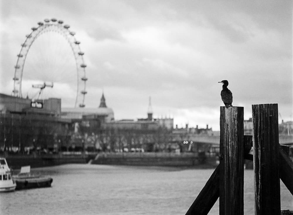 Cormorant in London