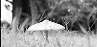Infra-shroom - Rollei Superpan 200 shot at ISO3. Black and white negative film in 120 format shot as 6x4.5. R72 720mn infrared filter.