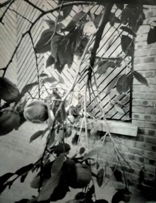 Persimmons - Ilford Paper, Harman Titan Pinhole