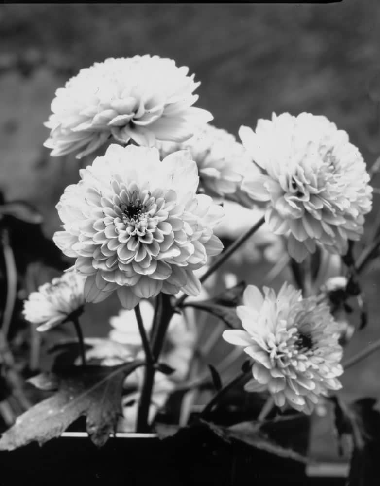 Don kittle paper negative white flowers instead of snow ilford multigrade iv rc