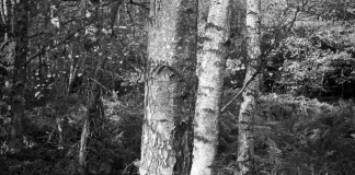 Three Silver Birches - Ilford Delta 100 Professional - Richard Pickup