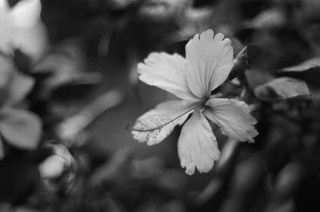 2016-07-28 - Hibiscus - Agfa APX 400 Professional shot at EI 400. Black and white negative film in 35mm format