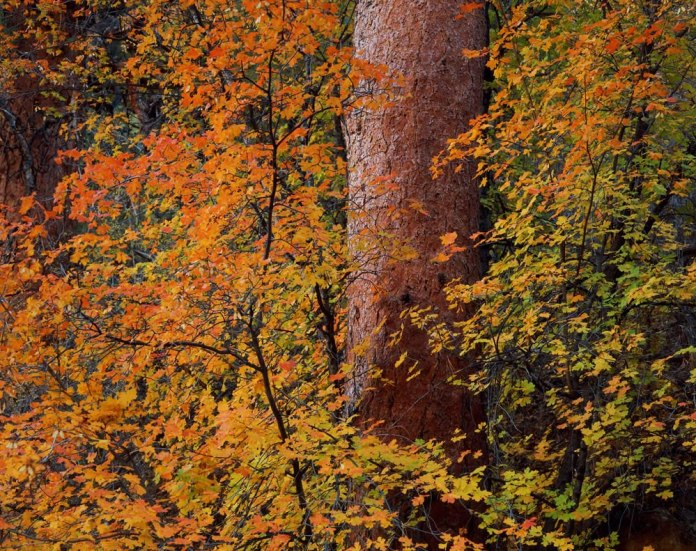 Ponderosa & Maple: Fuji Velvia 50 8x10 | Unrecorded Shutter @ f/45 | NIkkor 450mm | Ebony RW810