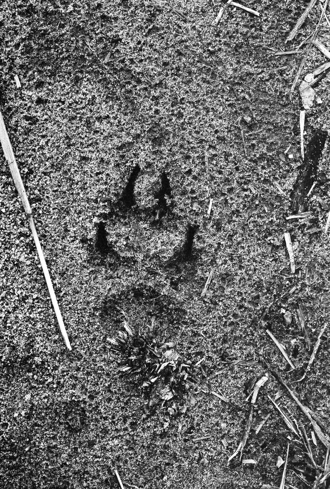 Animal track in sand path