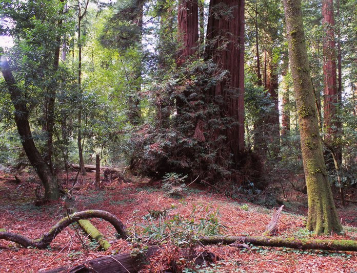 Henry Cowell Redwoods - Felton, CA – Pentax-A 645 75mm – Provia 100F