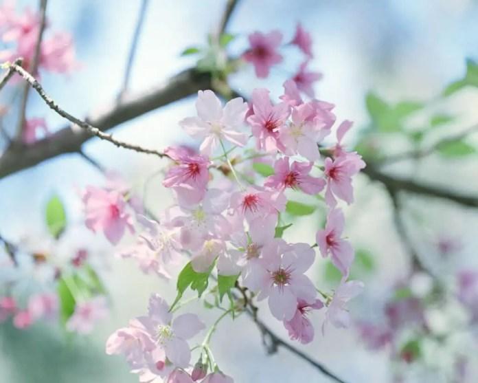 Sakura - Cherry Blossom Festival at Descanso Gardens. Hasselblad 500C, Fujifilm Pro 400H