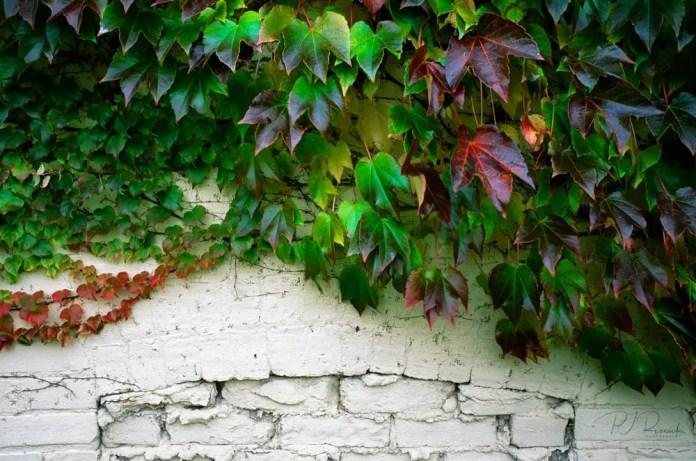 Ivy & Brick - Evanston IL, Canon EOS-1N, 17-40mm, f/4L, Fujichrome Velvia 50