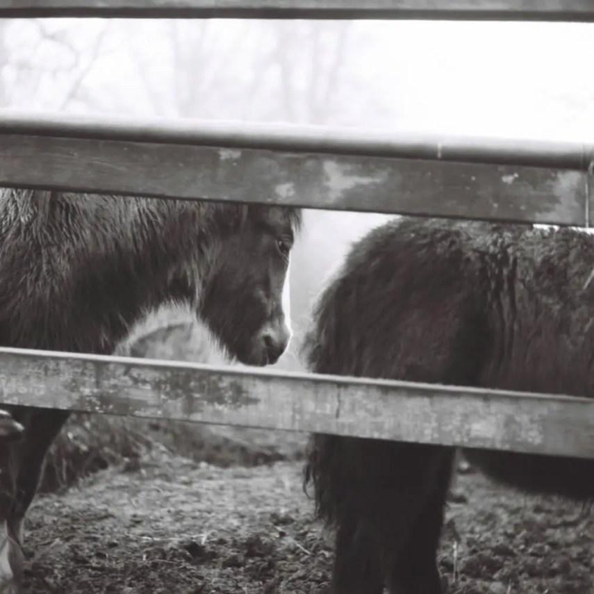 A Short Line of Shaggy Ponies, fields near to Braintree, Essex. 30/12/2016 Mamiya C330. Ilford SFX 120 (expired January 2009) f5.6 1/100