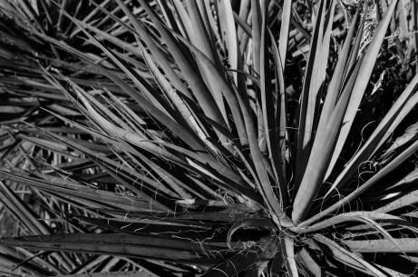 Yucca - Fuji Across 100 (+)