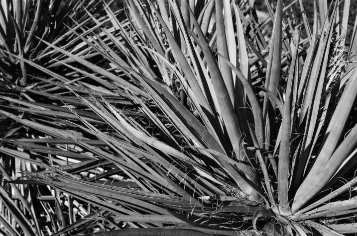 Yucca - ILFORD Delta 100 Professional (+)