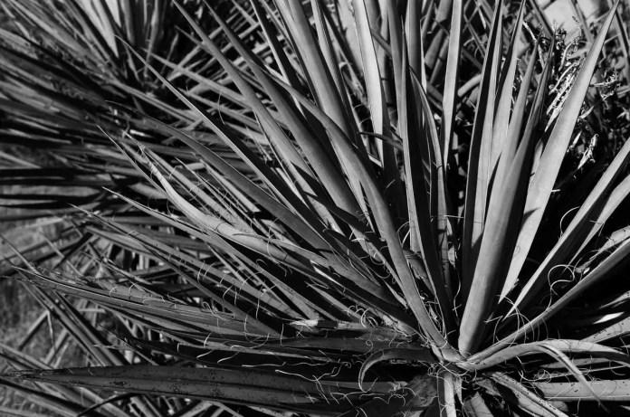 Yucca - Kodak T-MAX 100 (+)