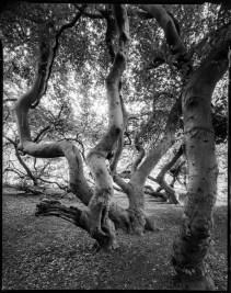 Stinted beech trees, Schneider Super Angulon 75mm, Ilford Delta 100 in Rodinal 1+50
