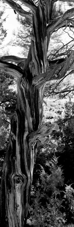 Twisted Tree - DaYi 6x17 Back, ILFORD Pan F film and orange filter.