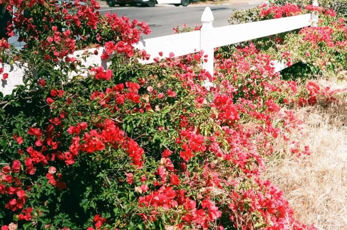 Fujicolor C200 - Flowers (As metered)