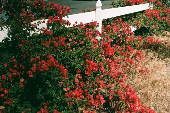 Fujicolor C200 - Flowers (Under -2)