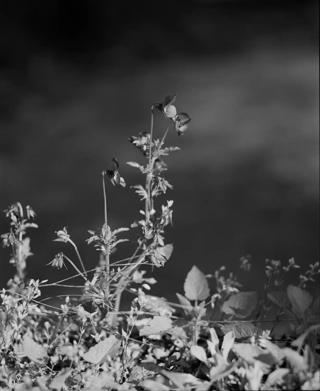 Some wild Pansy (Viola Tricolor) in my garden (Savoie)
