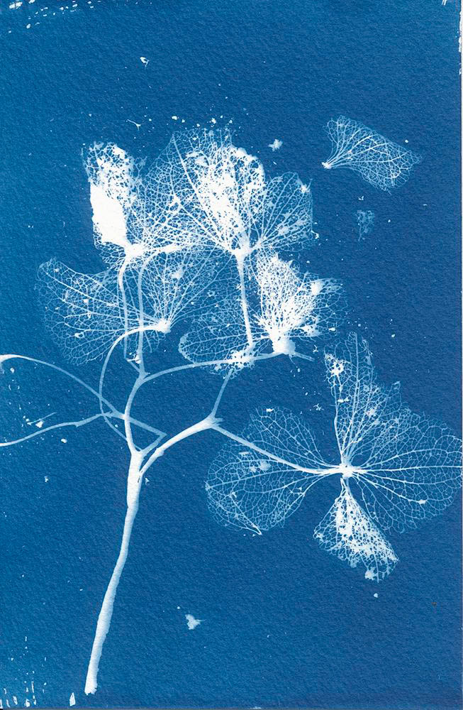 Dried Hydrandea (Glass) - 5 Frames... With a Liquid Cyanotype Kit on Fluid Cold Press Finish Watercolor Paper - by Monika