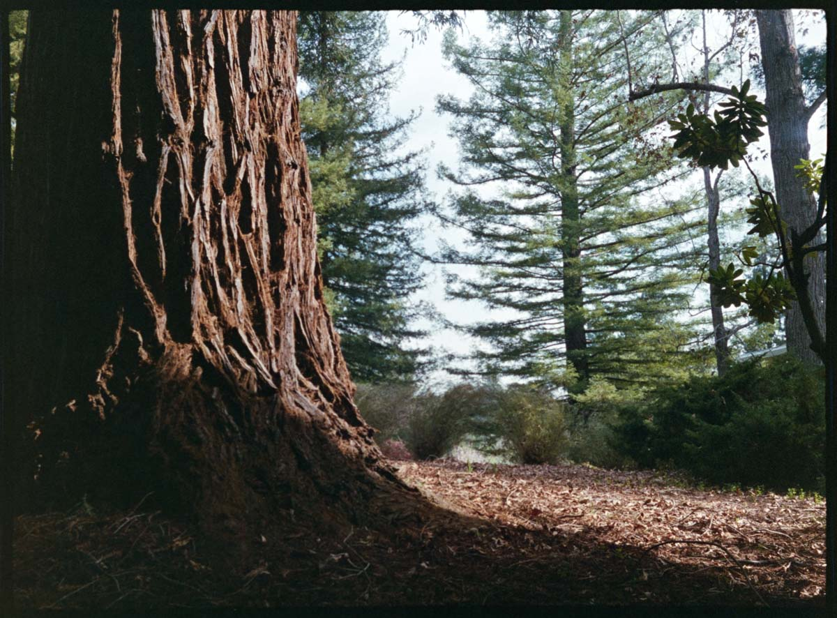 Horizontal frame, Redwood tree - Canon Demi EE17, Fuji Superia X-TRA 400