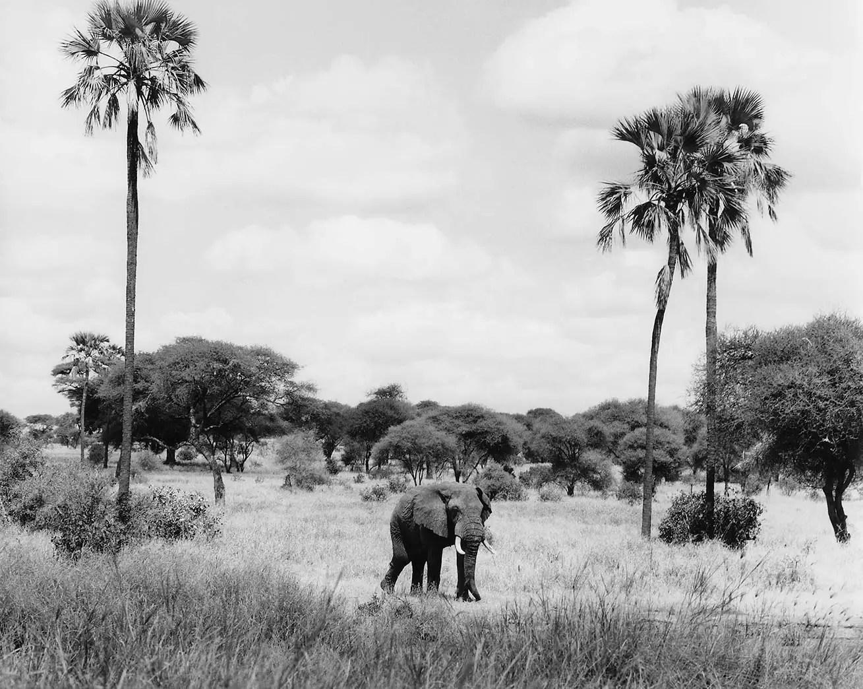 Bull elephant, Tarangire, Tanzania - ILFORD SFX 200 (no Filter) EI 200, Pentax 67II 200mm