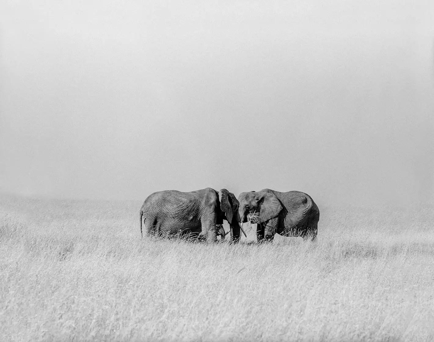 Elephant Rendezvous, Serengeti, Tanzania - ILFORD HP5 HP5 in Pyro PMK. Pentax 67II 135mm