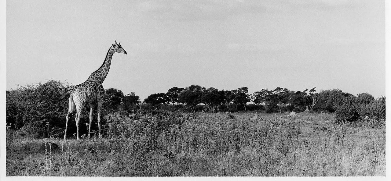 Giraffe bull, Hwange, Zimbabwe - ILFORD HP5 PLUS in HC-110, Pentax 67II, 135mm.