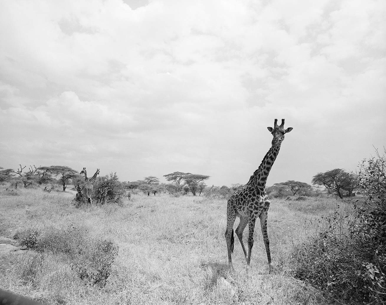 Giraffe bull, Hwange National Park, Zimbabwe - Kodak Tri-X Pan in HC-110. Pentax 67II 135mm