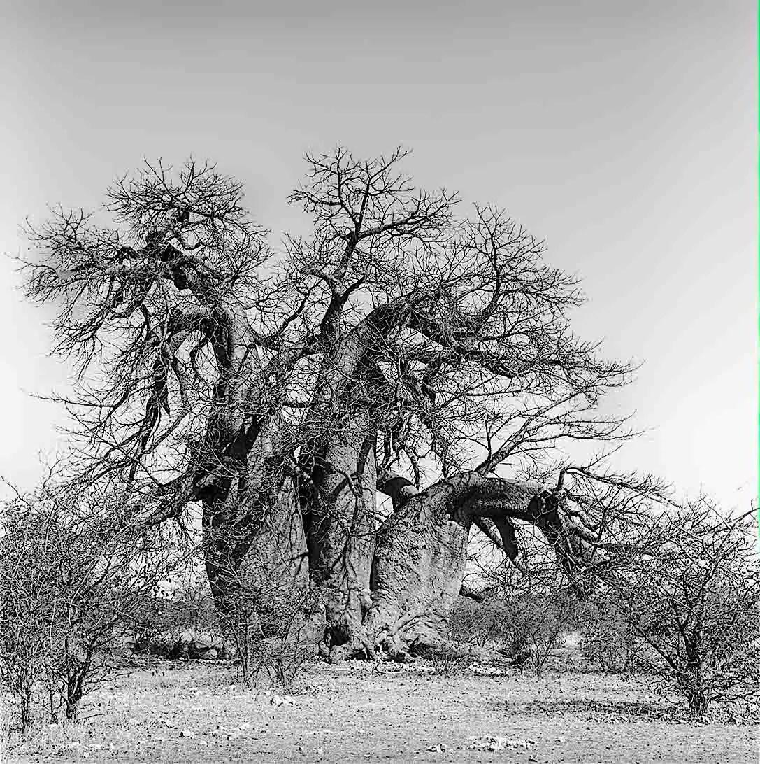Green's Baobab, Gweta, Kalahari, Botswana - Kodak Tri-X Pan in HC-110, Rolleiflex 3.5. 02