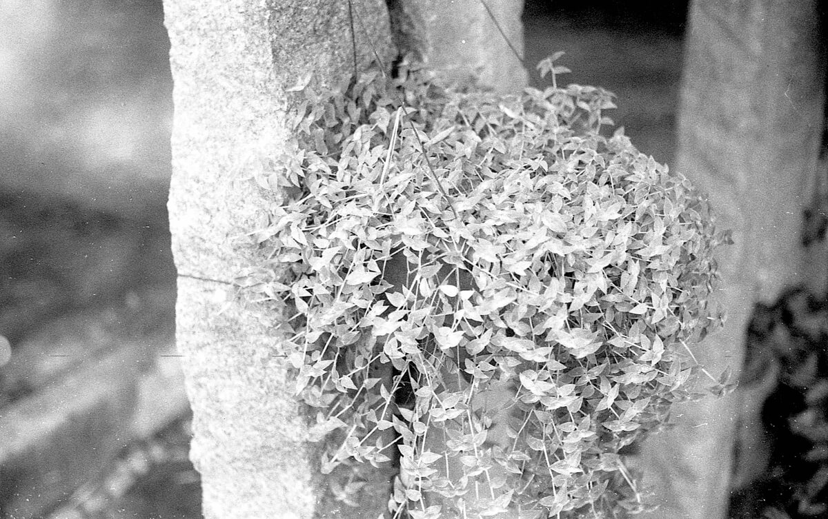 Pillar Hanging Plant - 5 Frames... On a leaky FED 5B with Fomapan 400 Action (EI 400 / 35mm format) - by Sasi Somu