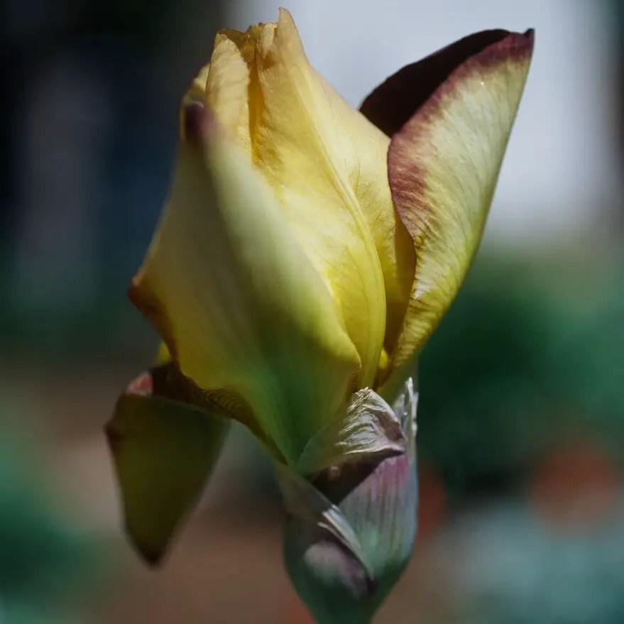 Iris Bud - Kodak EKTACHROME E100