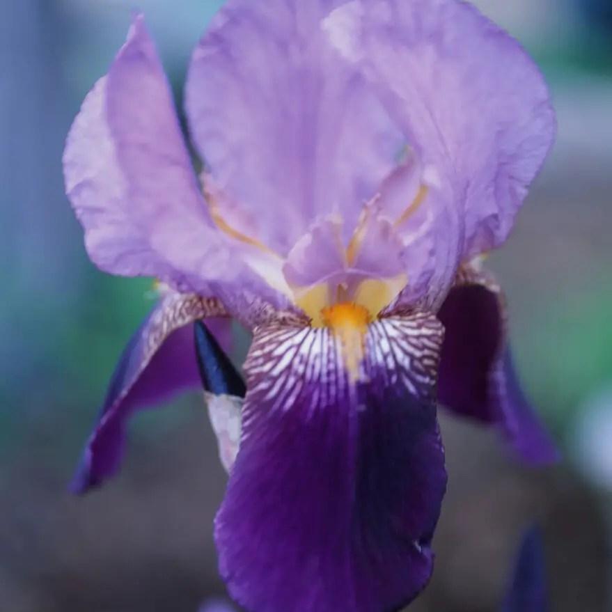 Purple Irises - Fujifilm Fujichrome Velvia 50 (RVP50)