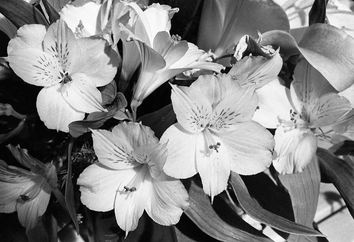 5 Frames (+1)... Of beautiful B&W flowers on ILFORD HP5 PLUS (35mm Format / EI 400 / Minolta X-700 + MD 50mm f/3.5 Macro Lens) - by Kathleen E. Johnson - Flower Set No.1