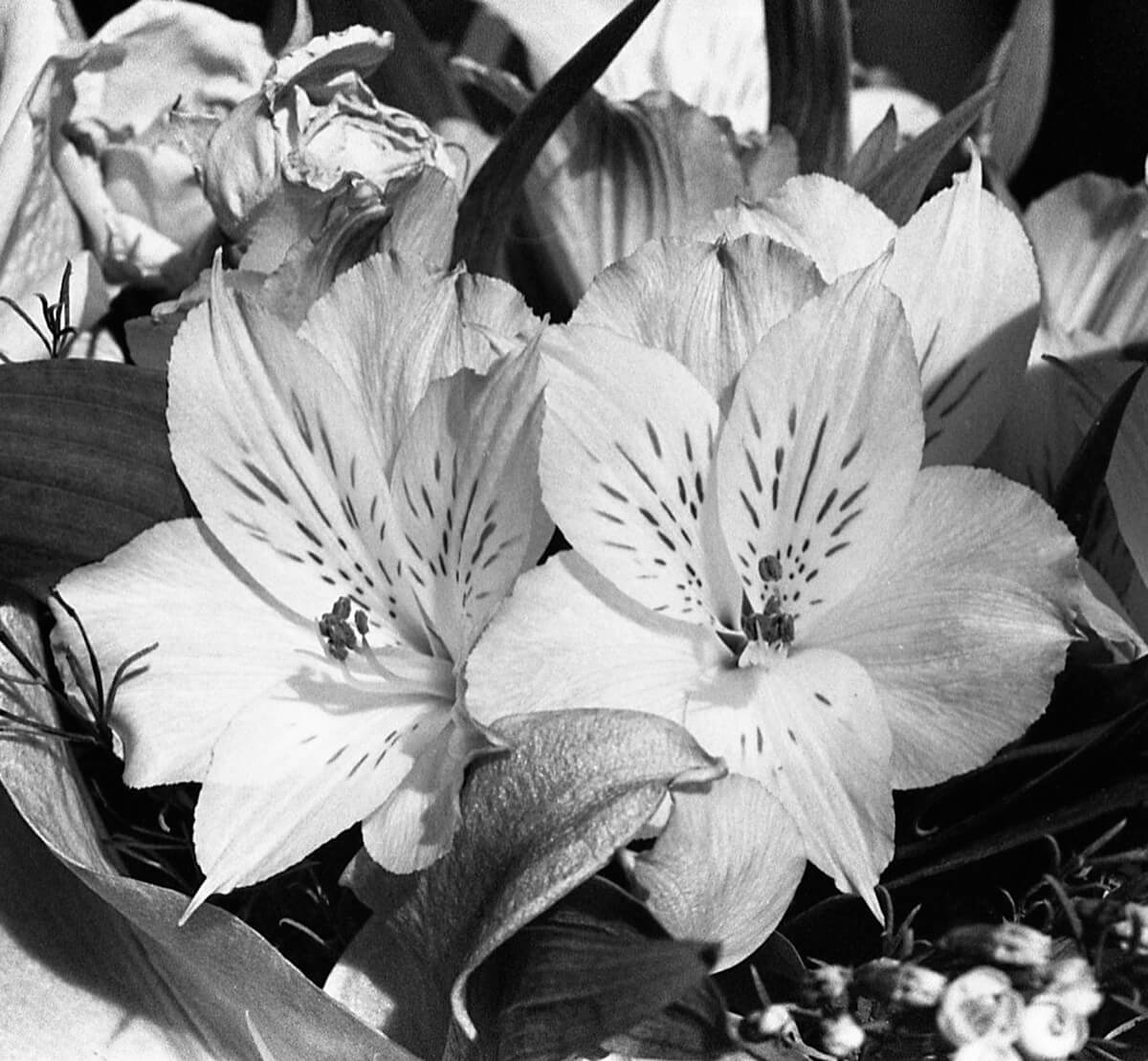 5 Frames (+1)... Of beautiful B&W flowers on ILFORD HP5 PLUS (35mm Format / EI 400 / Minolta X-700 + MD f/3.5 Macro Lens) - by Kathleen E. Johnson - Flower Set No.1