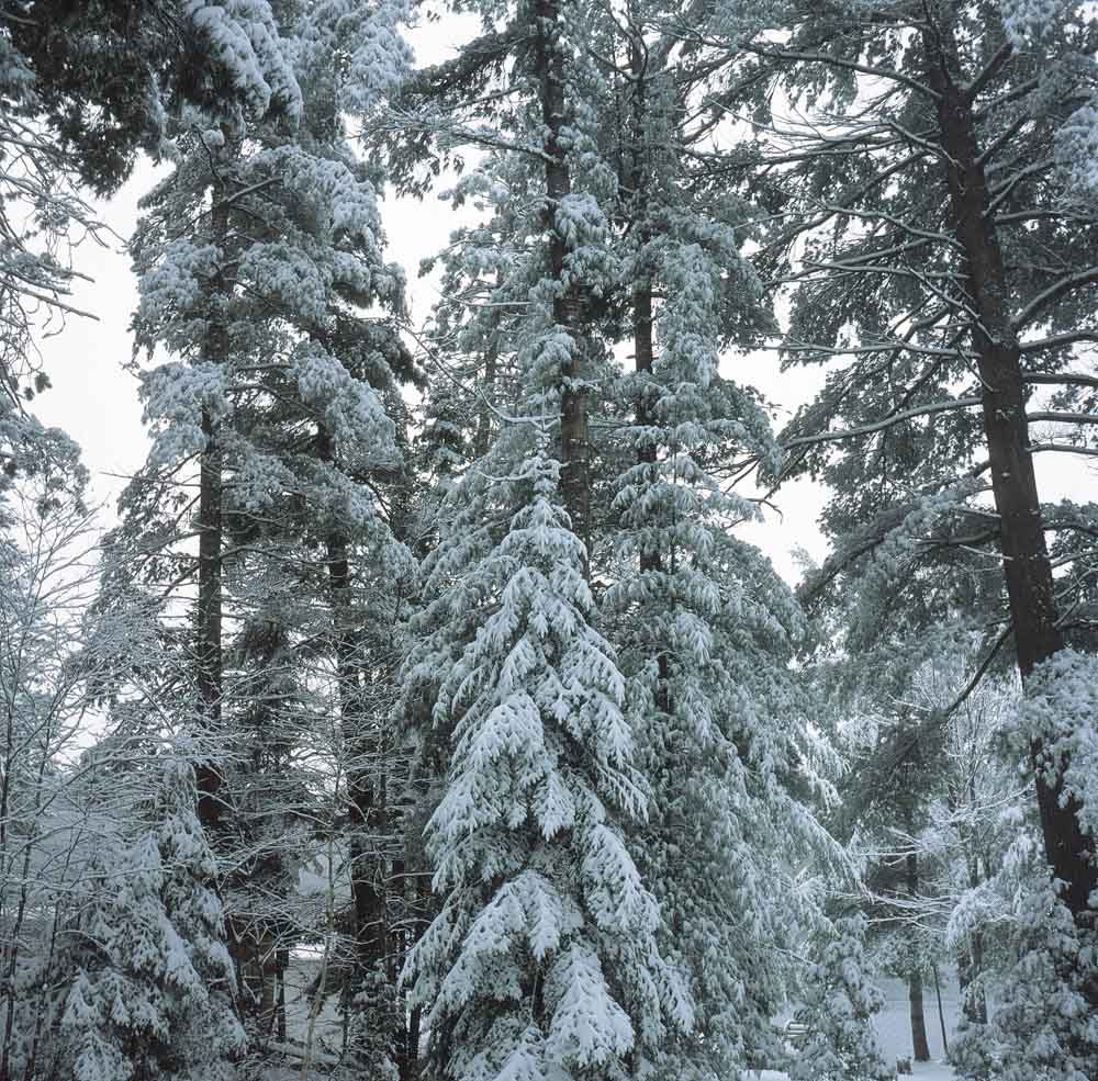 CA First Roll 07 Snow-covered Trees - Fujifilm Provia 100F + Rolleicord III, f/8 1/30