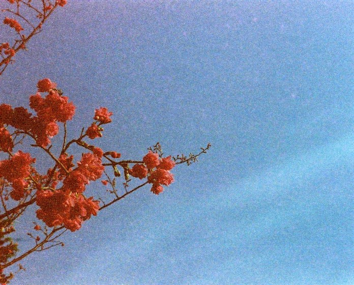 Gloriously grainy blossom burst - Shot on Kodak Gold 400 at EI 400. Color negative film in 110 format.