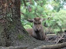Cerf du parc de Nara