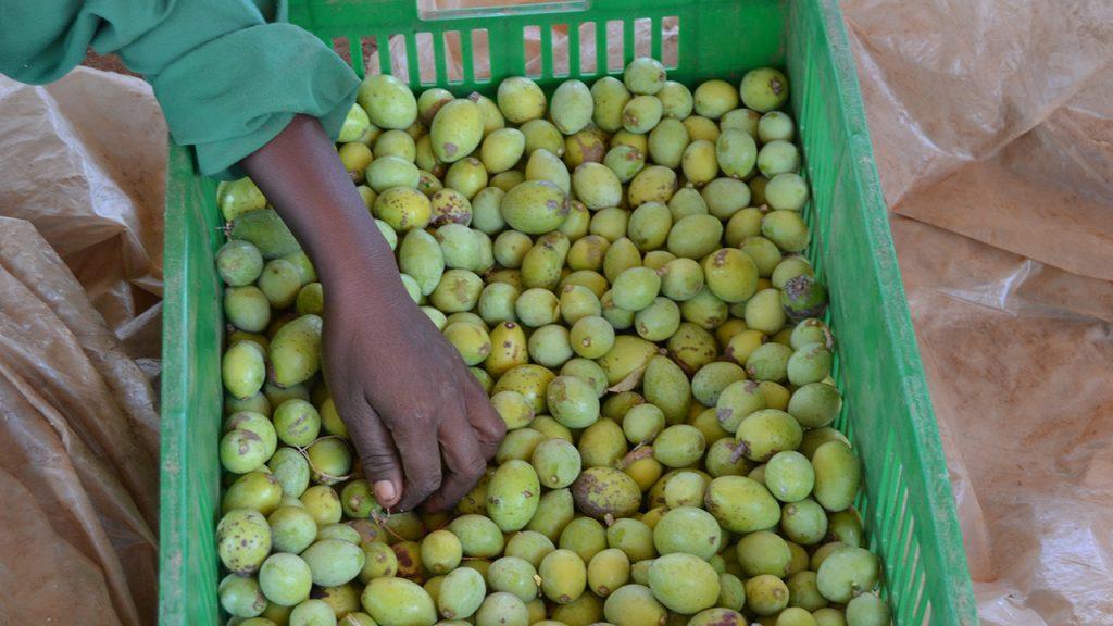 Uppsamlade frukter från Mukauträdet. 180629