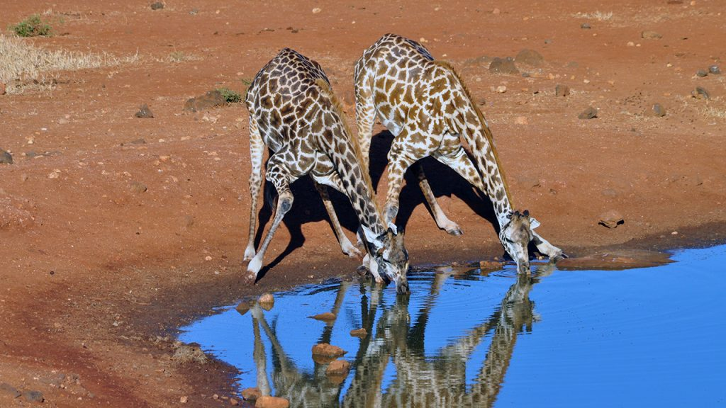 Two giraffes at the waterhole, 150710